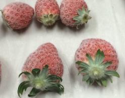 草莓冷凍示意圖