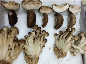 菇類冷凍測試示意圖