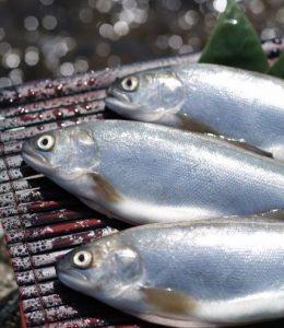 kokane salmon fish chitose