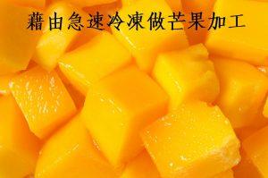 利用急速冷凍做芒果加工